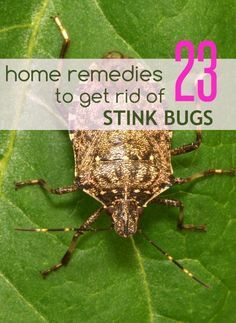 Are You Looking For Natural Ways To Get Rid Of Stink Bugs? Here We Have