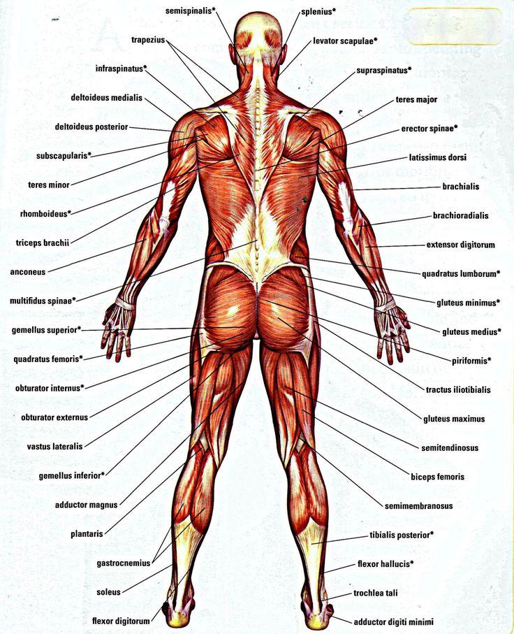 Mejores 26 imágenes de MUSCULOS en Pinterest | Terapia de masaje ...
