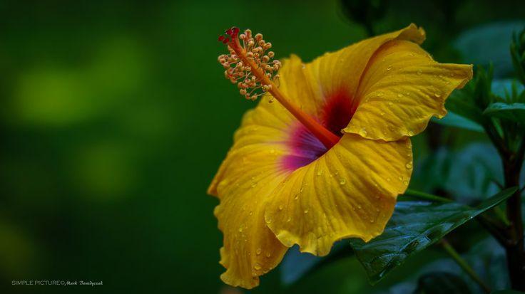 Hibiscus - Glory Days by Mark Benedyczak on 500px