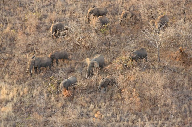 More than 30,000 elephants are killed per year for their ivory. The number would probably be higher, if it weren't for the diligent work of conservation organizations in Africa that are dedicated to protecting and preserving the endangered and threatened species.