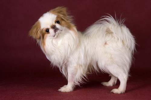 смешной щенок японского хина