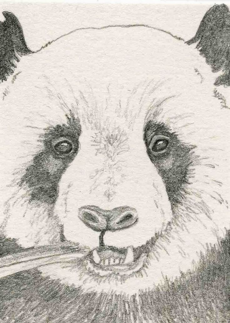 ACEO ATC Panda Bear Wildlife Art Original Pencil Painting-Carla Smale