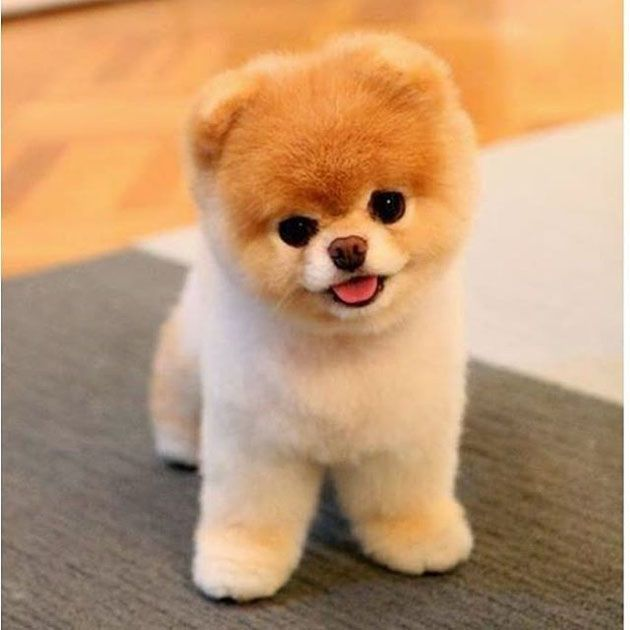 Some Of Them Are China Made Cute Teacup Puppies Cute Baby