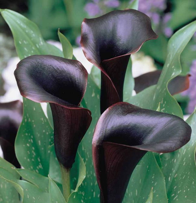 Calla Lily 'Black Star'