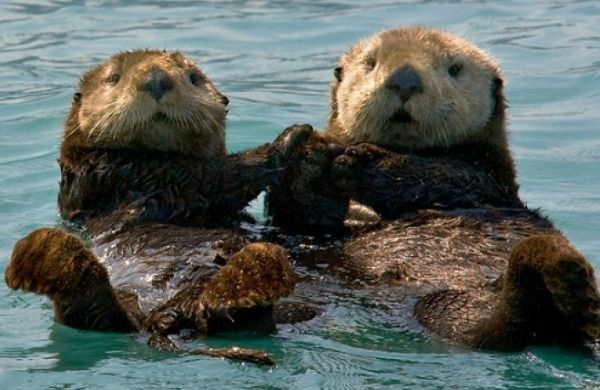 Baby Otters Holding Hands - wallpaper.