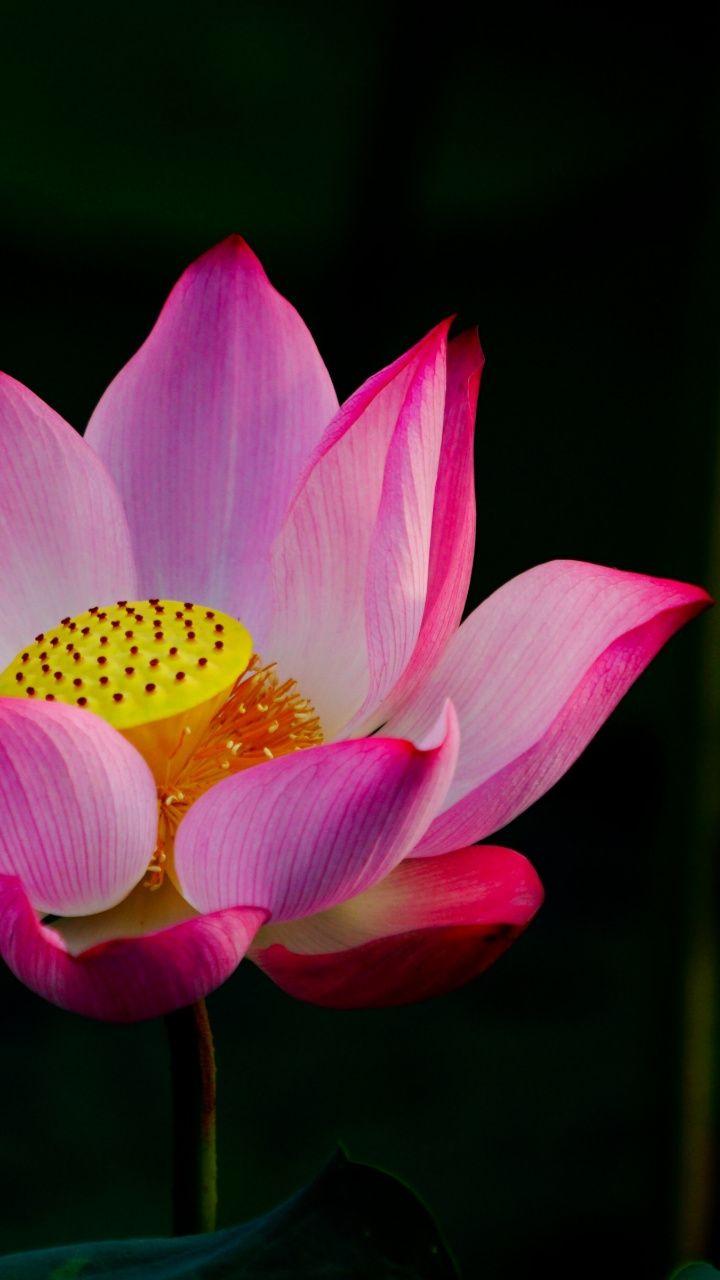 720x1280 Wallpaper Pink Lotus Flower Bloom Purple Flowers