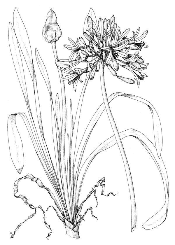 plant botanical Agapanthus orientalis - Google Search