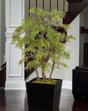 4u0027 Dwarf Japanese Maple Silk Tree With Green Foliage
