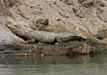 Crocodylus palustris - Mugger Crocodile