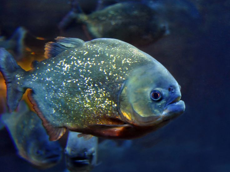Piranha : The Amazon: Explore the Exotic Wildlife : TravelChannel.com