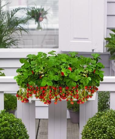 Altankasse med 8 jordbærplanter