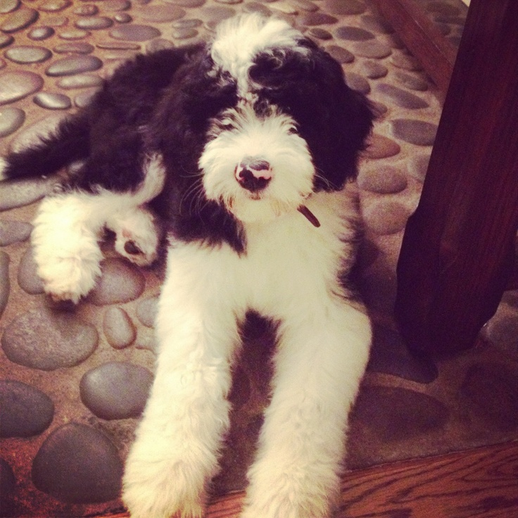 I think I need one of these... Sheepadoodle.