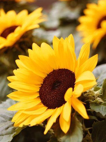 die 25 besten ideen zu sonnenblumen auf pinterest sonnenblumenschmuck sonnenblume kunst und. Black Bedroom Furniture Sets. Home Design Ideas