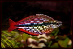"Melanotaenia trifasciata (banded rainbowfish) - ~5"" rainbowfish, many color variations, many are hybrids, can supposedly be housed 1m - 3f in as small as a 15g, prolific breeders"
