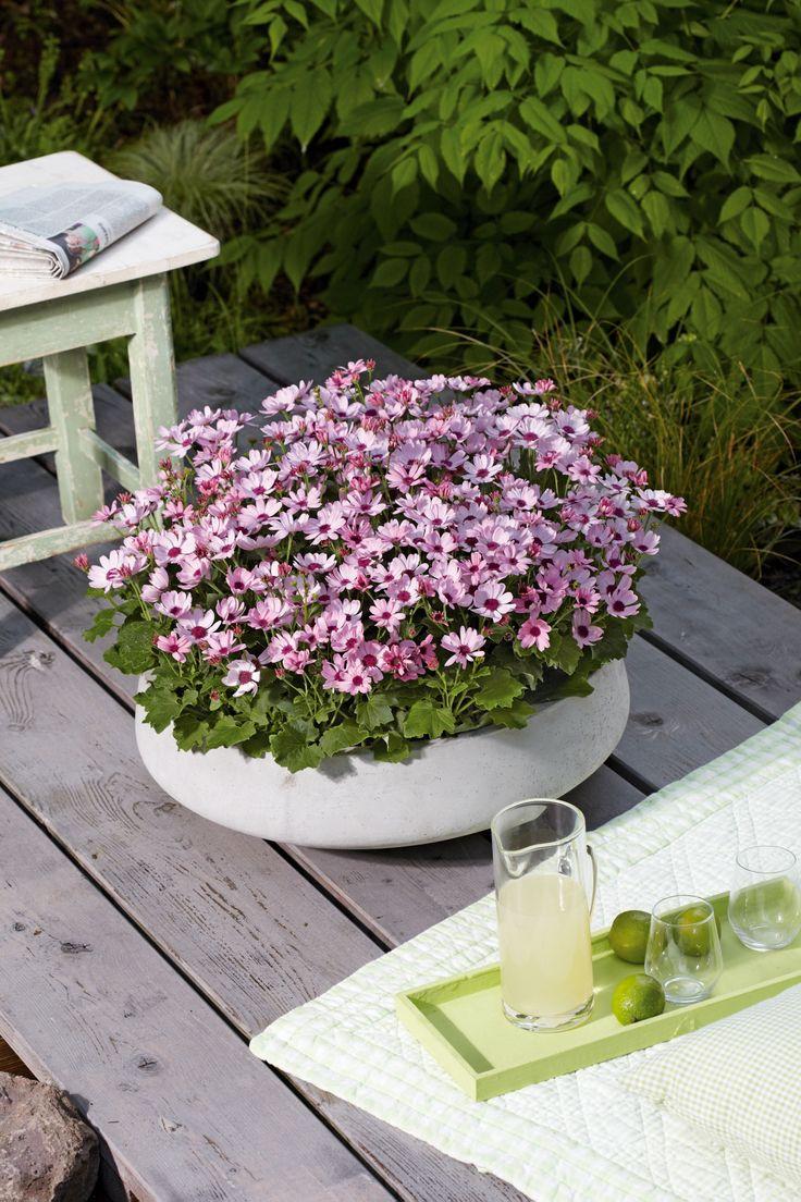 """Eine besonders schöne Frühjahrs- Beauty ist der Teneriffa-Stern """"ToDaisy"""": Kornblumenblau, kräftige Pink- und Lilatöne, zartes Rosa oder zweifarbige Sorten laden zum Kombinieren ein. #OBI #Blumenkasten"""