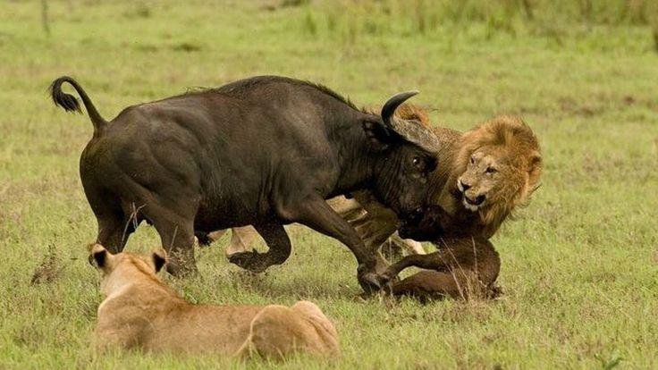Phim thế giới động vật : Con mồi nổi điên với vua sư tử có kết cục - Lio...
