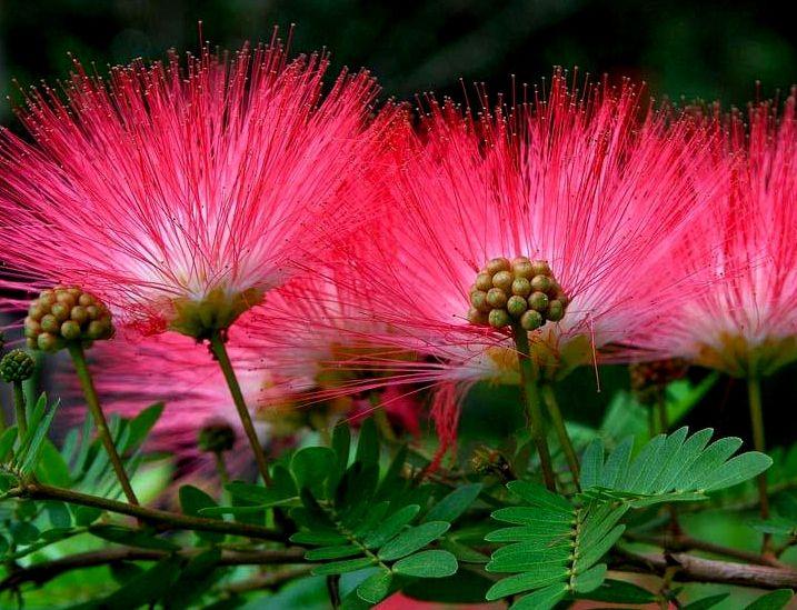 Kwiaty Swieca W Nocy Albicja Jedwabne Drzewko 40cm 7814014919 Allegro Pl Flower Garden Garden Design Pictures Flowers