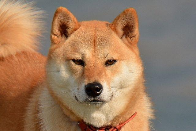 犬と遊んでいるときに噛まれて怪我をしたことありませんか? 噛んでしまうのは必ずしも敵対心があるわけではなく、被害者が飼い主さんの場合は多くは遊びの延長線と思っている犬がほとんどです。 犬は遊んでいるだけでも、中型大型犬に噛みつかれたら甘噛とはいえ怪我をしてしまったりものを傷つけてしまったりします。 怪我や大切なものをを未然に防ぎ守るために、噛み癖は早めに直しておかなければいけません。 噛み癖について 噛み癖とは、噛んでほしくないもの、噛んではいけないものを噛