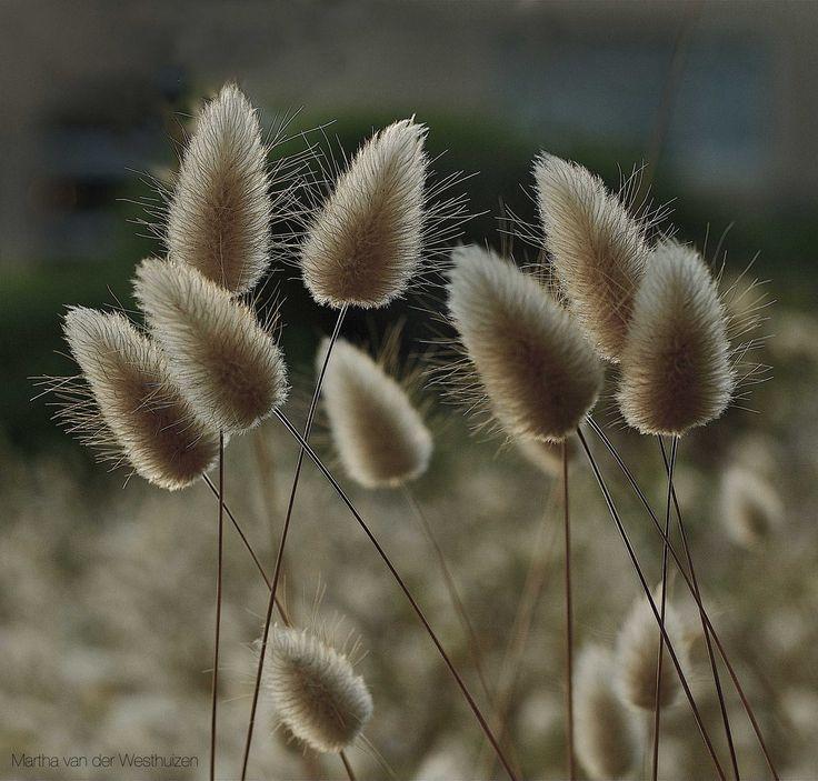 Wildflower plumes  Photo by Martha van der Westhuizen