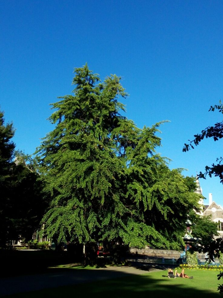 One of the imposing ginko trees in the Christchurch Botanic Gardens.