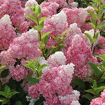 Vanilla Strawberry Hydrangea paniculata 'Rehny' bears large clusters of white flowers that fade to strawberry pink from midsummer to autumn. It grows 7 feet tall.