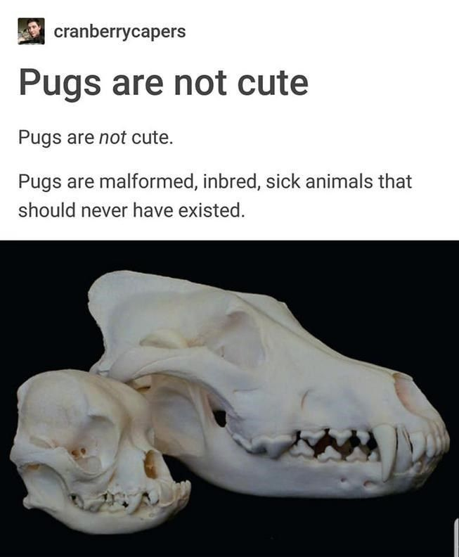 Aggressively Informative Tumblr Thread Will Ruin Pugs For You