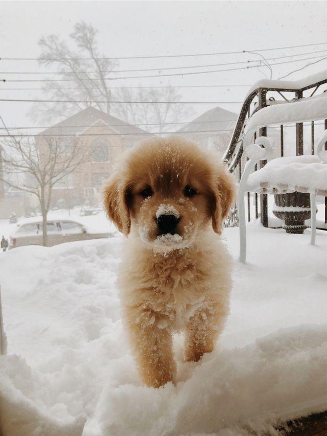 ɪsᴀʙᴇʟʟᴀғᴀʙᴀ Golden Retriever Puppy In The Snow Puppies