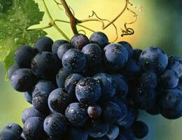 De tradición Italiana, es la segunda variedad mas famosa del país.  Además de las regiones Italianas, esta variedad se cultiva en el area de California México y Argentia.