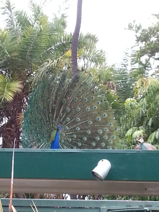 Peacock trying to mate with a female peacock
