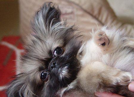 i love my little baby pekingese gizmo!
