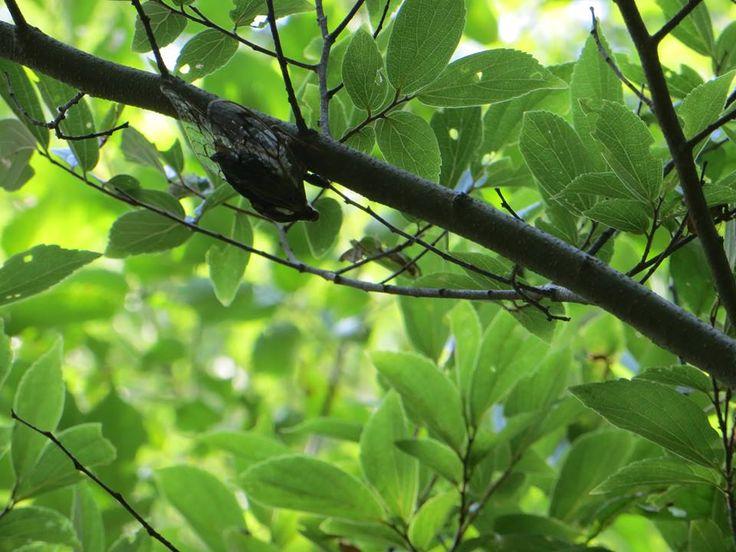 8月23日の誕生日の木は「エノキ」です。木偏に夏と書いて「榎」ですが、実は日本だけで通用する漢字(国字)です。年を重ねると背が高く、たくさんの枝を張り、大きな樹冠を形成するエノキは街道筋に植えられ、その大木の木陰が夏の憩の場になったことから、この漢字があてられたということです。昔はエノキを街道の一里塚として植えた所が多く、今でも日光街道、中山道をはじめ、旧街道のほとりに老木が昔の面影を残す場所があります。エノキという名前の由来には諸説あります。固い木質を利用して農機具などの柄にしたので「柄の木」からエノキになったという説が広く知られていますが、今日はもうひとつご紹介します。大木となったエノキにはヤドリギがよく寄生し、落葉を落とした後、その緑は目立ち、神が宿る木と見られたようです。そこから神が降臨する「タタエノキ」となり、タタが除かれてエノキになった。また、神聖な木を意味する「斎木(ユノキ:斎=神聖な,清浄な)」がエノキに変化したという説があります。お正月に一年の五穀豊穣を祈願して飾る餅花を榎につける所もあります。