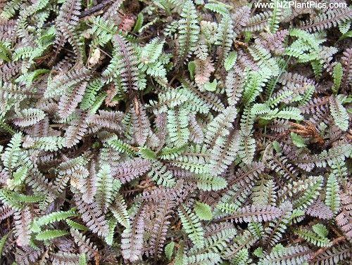 leptinella serrulata - native groundcover