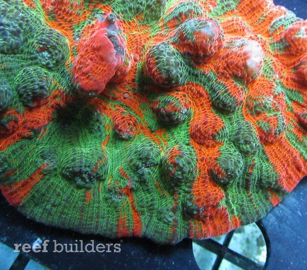 Rainbow Chalice corals of the genus Echinophyllia