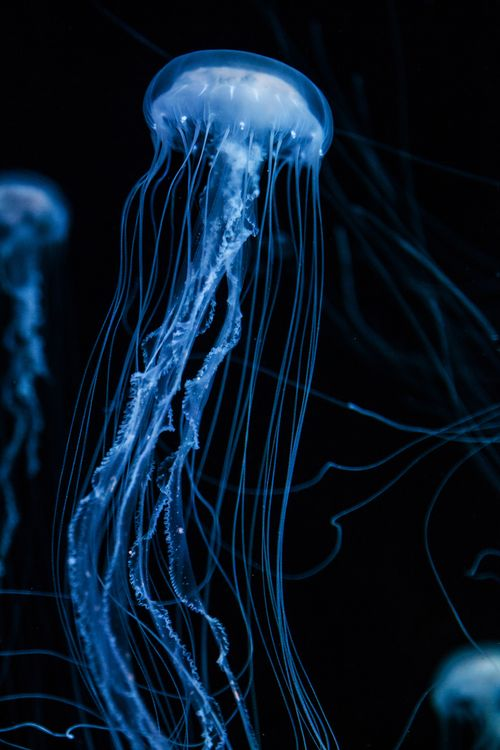 Jellyfish  by Luke Strothman