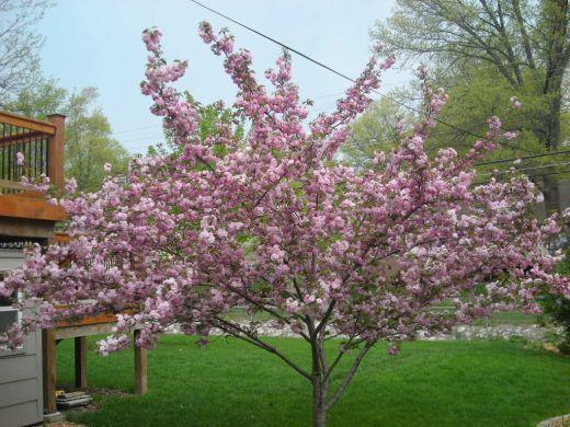Cherry Tree Seeds ★ STELLA ★ Prunus Avium ★ Health Benefits ★ 10 Seeds