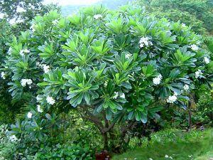 Frangipanier et ses fleurs