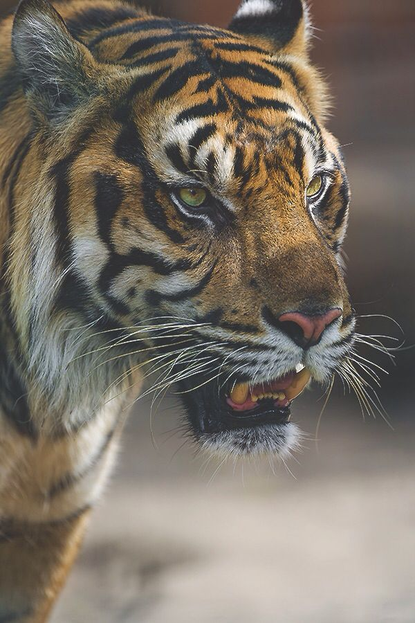 #Tiger