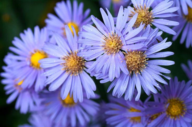 September birth month flowers and their meanings, aster, morning glory from The Old Farmer's Almanac.