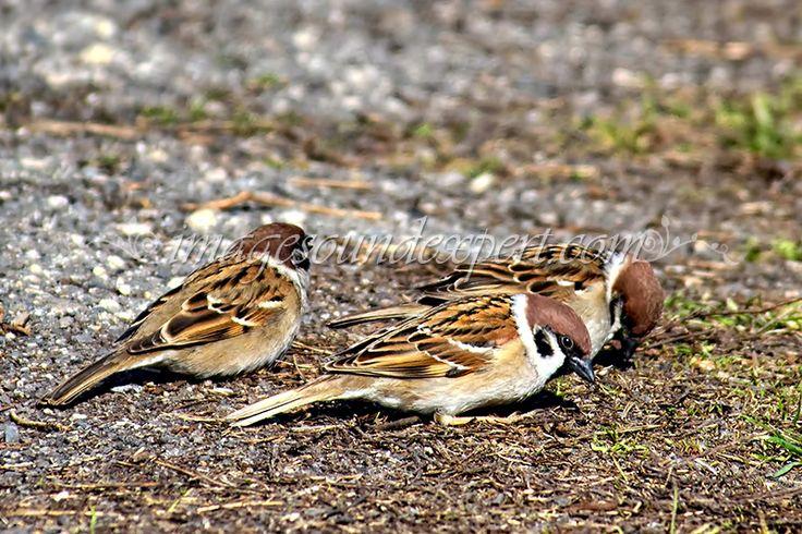 vrabii, sparrows
