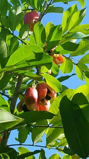 "#AlwaysPromotingPeterLloyd ..""ackee tree in my back yard farm.."" I #love living in my #beautiful #reggae #island #home #Jamaica...come visit"