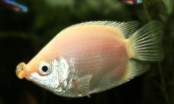 Аквариумные рыбки гурами. Вот это красотища!
