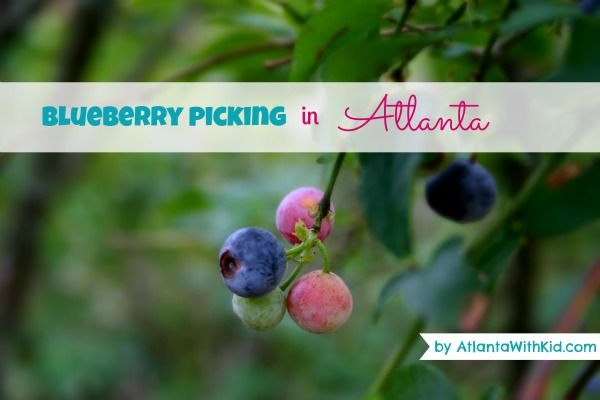 Blueberry Picking in Atlanta: Guide to Pick Your Own Blueberries Farms
