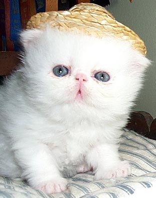 Persian.: Baby Stella, Babies, Face, Persian Baby, Baby Kittens, Lovable Pets, Crazy Cat, D 2Tuy Lovely Cats, Cat Lady