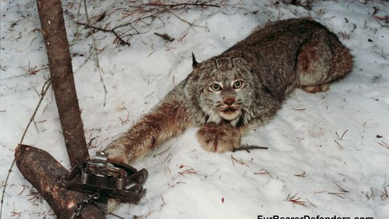 Honourable Steve Thomson, BC Minister of Forest/Lands/NaturalResources: Ban the use of all leg-hold traps. http://www.change.org/en-CA/petitions/honourable-steve-thomson-bc-minister-of-forest-lands-naturalresources-ban-the-use-of-all-leg-hold-traps?share_id=NxRVPByaaz&utm_campaign=autopublish&utm_medium=facebook&utm_source=share_petition&v&x=%7Eopen_graph_autopublish_experiment