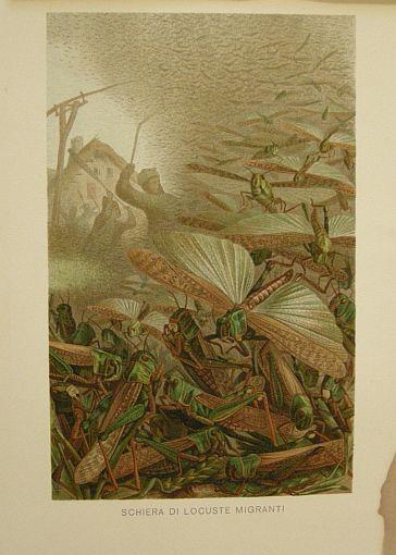 Schiera di locuste migranti. s.d. (ma 1900 ca.). Storia natule - Etologia - Animali - Insetti - Stampa - Scienza -