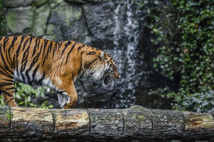 Tiger by Emilia Heller on 500px