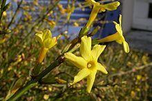 Jasminum nudiflorum.jpg