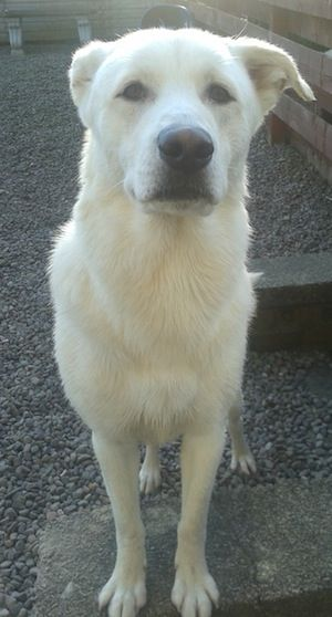 Siberian Retriever Dog Breed Information and Pictures, Husky / Labrador Retriever Hybrid Dogs