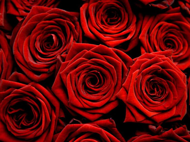 18 Best Red Roses Images On Pinterest