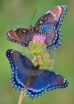 Mariposas azules en el jardin.